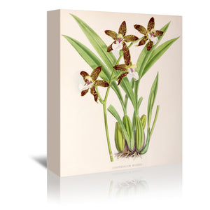 Fitch Orchid Zygopetalum Burkei by New York Botanical Garden Wrapped Canvas