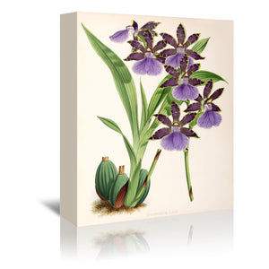 Fitch Orchid Zygopetalum Clayii by New York Botanical Garden Wrapped Canvas