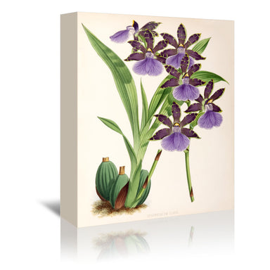 Fitch Orchid Zygopetalum Clayii by New York Botanical Garden Wrapped Canvas - Wrapped Canvas - Americanflat