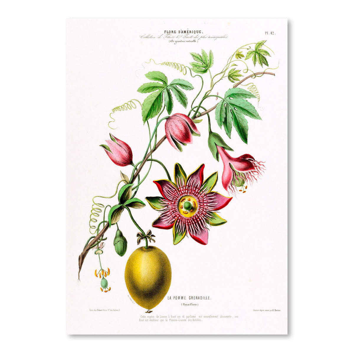 Flored Amerique Lapomme Grenadille by New York Botanical Garden Art Print - Art Print - Americanflat