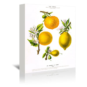 Flored Amerique Lesoranges Etcitrons by New York Botanical Garden Wrapped Canvas