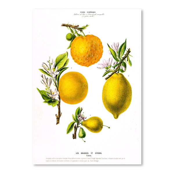 Flored Amerique Lesoranges Etcitrons by New York Botanical Garden Art Print