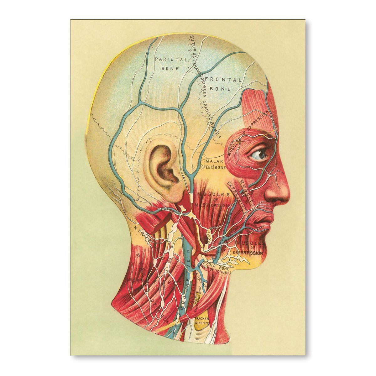 Bones And Muscles Of The Head by Found Image Press Art Print - Art Print - Americanflat