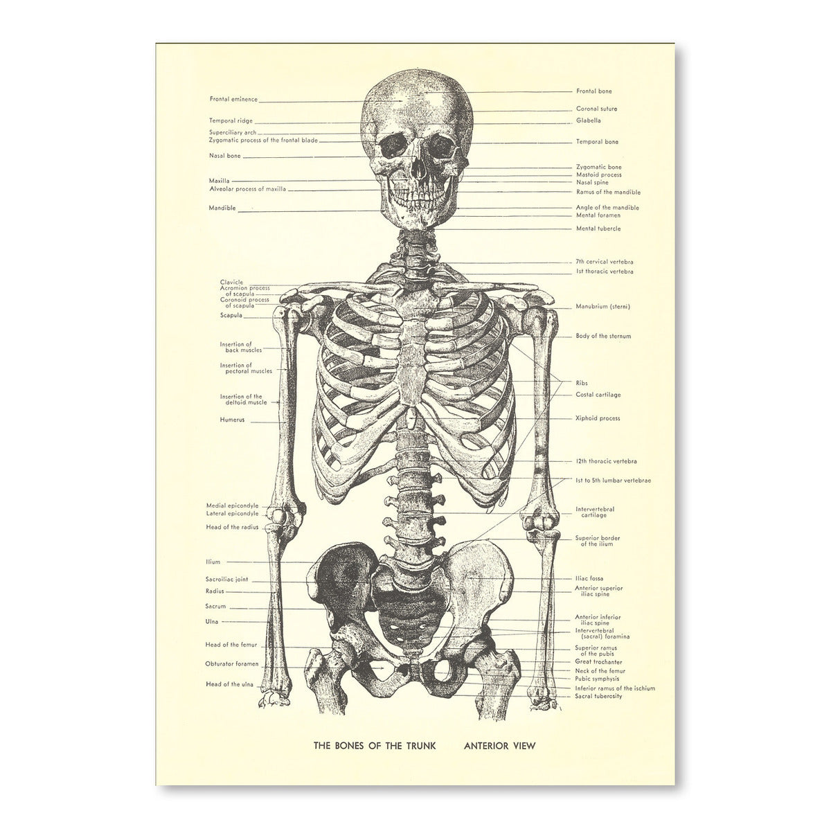 Bones Of The Trunk Anterior by Found Image Press Art Print - Art Print - Americanflat