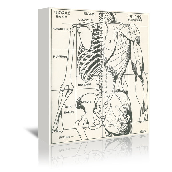 Drawing Of Bones And Muscles Of The Torso by Found Image Press Wrapped Canvas