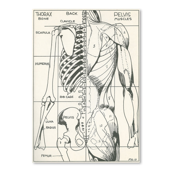 Drawing Of Bones And Muscles Of The Torso by Found Image Press Art Print