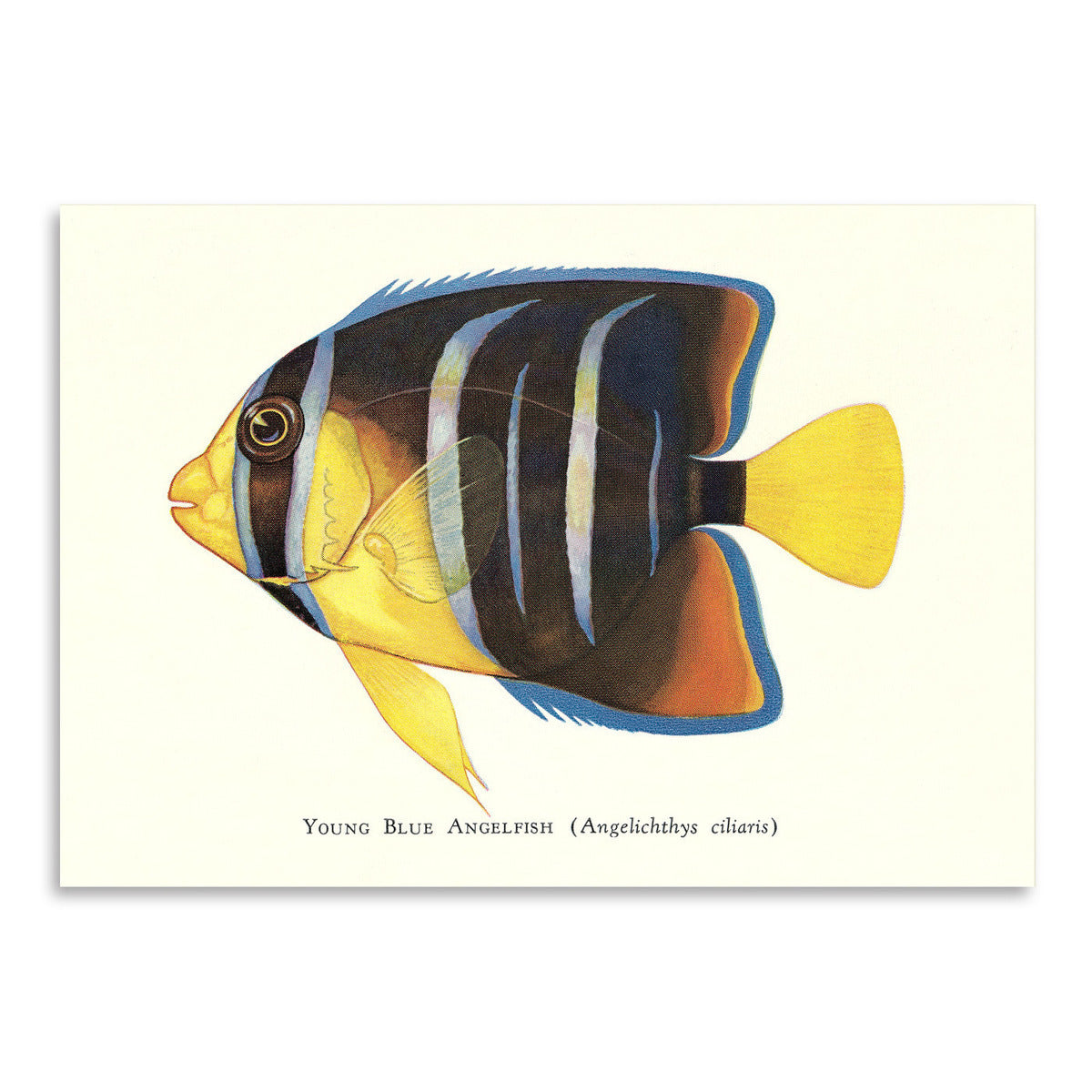 Young Blue Angelfish by Found Image Press Art Print - Art Print - Americanflat