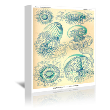 Haeckel Plate 36 by Coastal Print & Design Wrapped Canvas - Wrapped Canvas - Americanflat