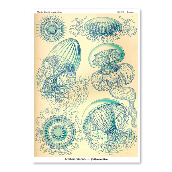 Haeckel Plate 36 by Coastal Print & Design Art Print