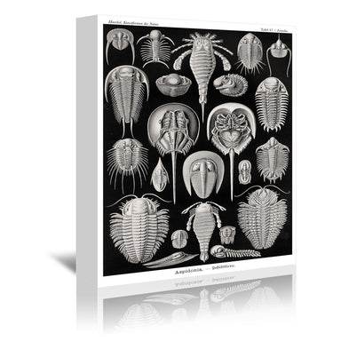 Haeckel Plate 47 by Coastal Print & Design Wrapped Canvas - Wrapped Canvas - Americanflat