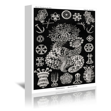 Haeckel Plate 50 by Coastal Print & Design Wrapped Canvas - Wrapped Canvas - Americanflat