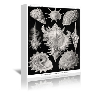 Haeckel Plate 53 by Coastal Print & Design Wrapped Canvas - Wrapped Canvas - Americanflat