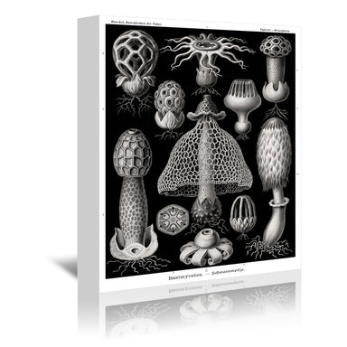 Haeckel Plate 63 by Coastal Print & Design Wrapped Canvas - Wrapped Canvas - Americanflat