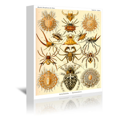 Haeckel Plate 66 by Coastal Print & Design Wrapped Canvas - Wrapped Canvas - Americanflat