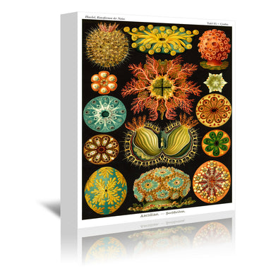 Haeckel Plate 84 by Coastal Print & Design Wrapped Canvas - Wrapped Canvas - Americanflat