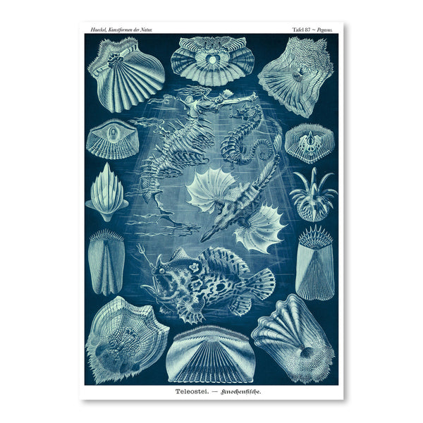 Haeckel Plate 87 by Coastal Print & Design Art Print