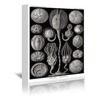 Haeckel Plate 90 by Coastal Print & Design Wrapped Canvas - Wrapped Canvas - Americanflat