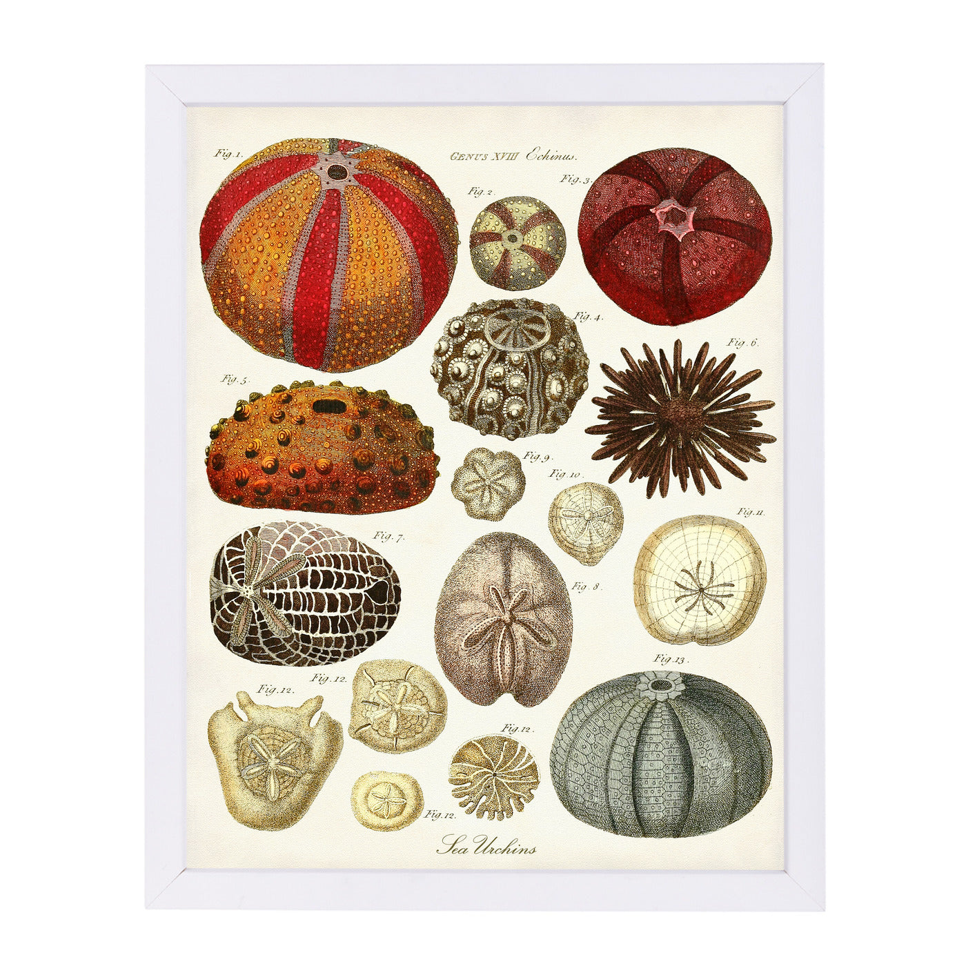 Sea Urchins by Coastal Print & Design Framed Print - Americanflat