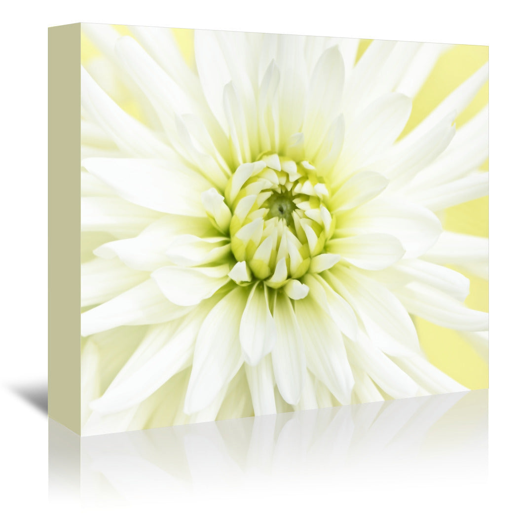 White Dahlia Close Up by Mirja Paljakka Wrapped Canvas - Wrapped Canvas - Americanflat