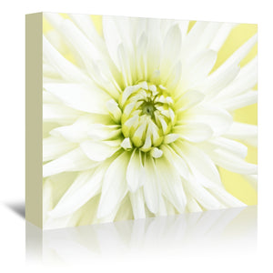 White Dahlia Close Up by Mirja Paljakka Wrapped Canvas