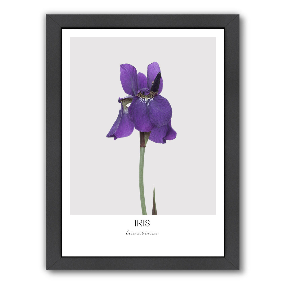 Iris By Nuada - Black Framed Print - Wall Art - Americanflat