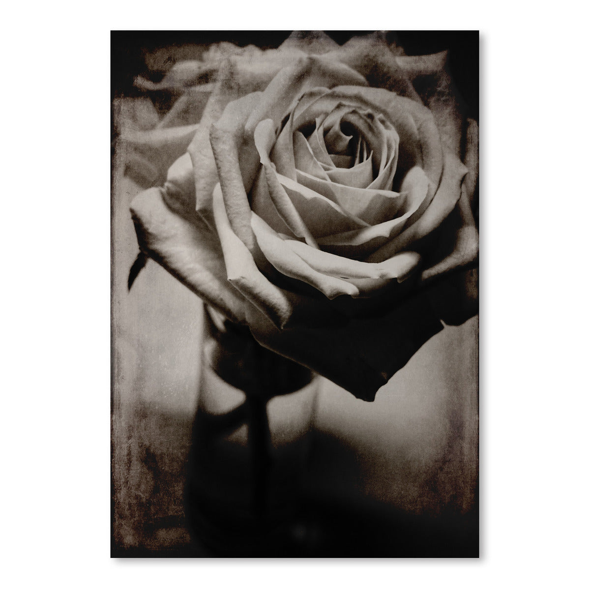 White Rose by Chaos & Wonder Design - Art Print - Americanflat
