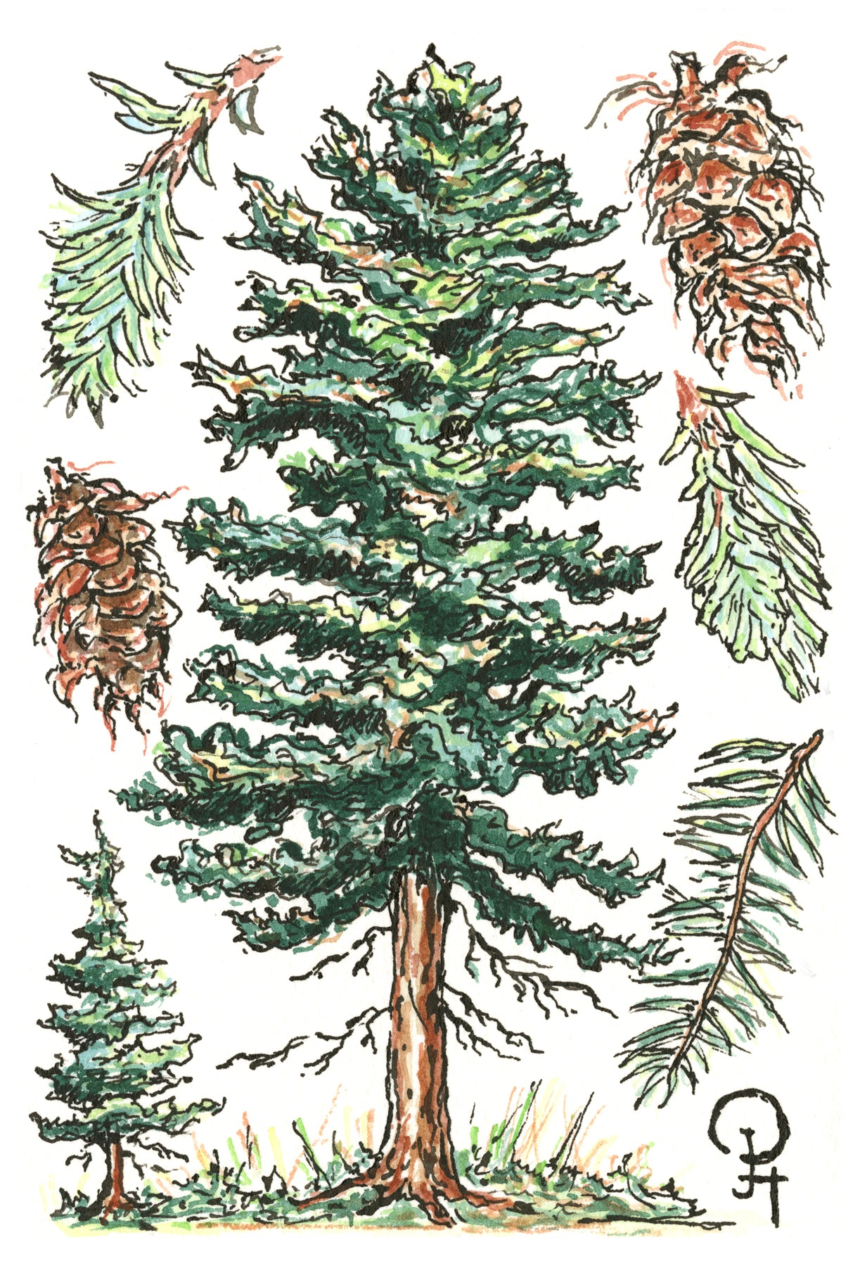 Single Postcard, Spruce Tree