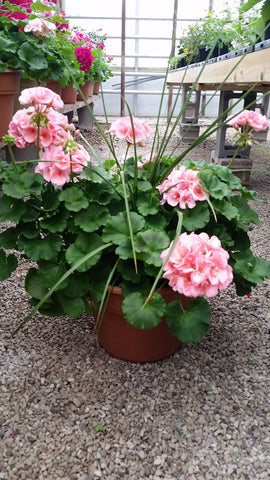 Potted Geranium with a Spike