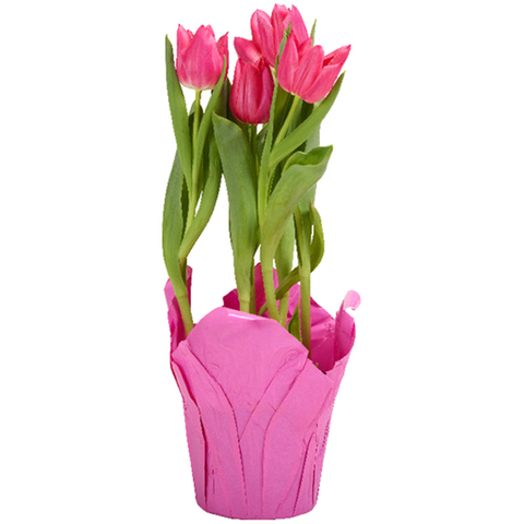 Tulip (potted)