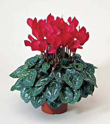 Florist's Choice Blooming Plant