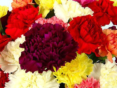 Dozen Mixed Carnations