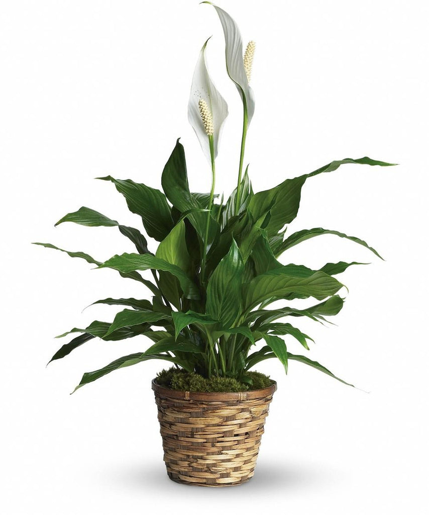 Peace Lily Salama Greenhouse Floral