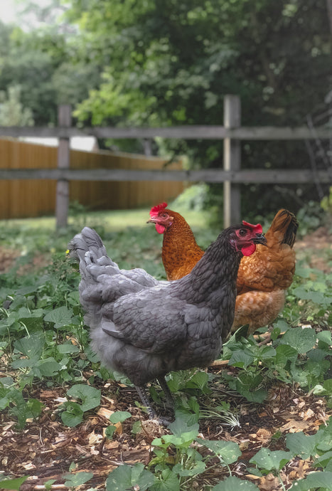 Does my City Allow Chickens?