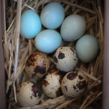 Load image into Gallery viewer, Coturnix Quail Hatching Eggs