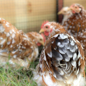 Cochin Bantams