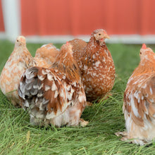 Load image into Gallery viewer, Cochin Bantam Hatching Eggs