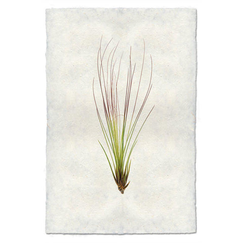 Air Plant #7 (Tillandsia Juncifolia)