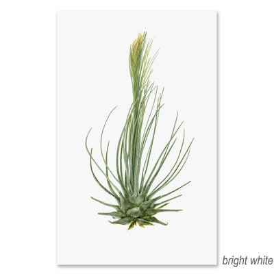 Air Plant #8 grand format