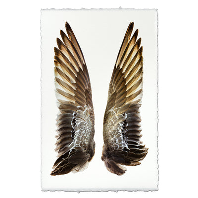 Gadwall Duck Wings