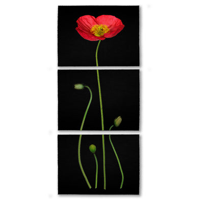 Iceland Poppy color on black Trilogy