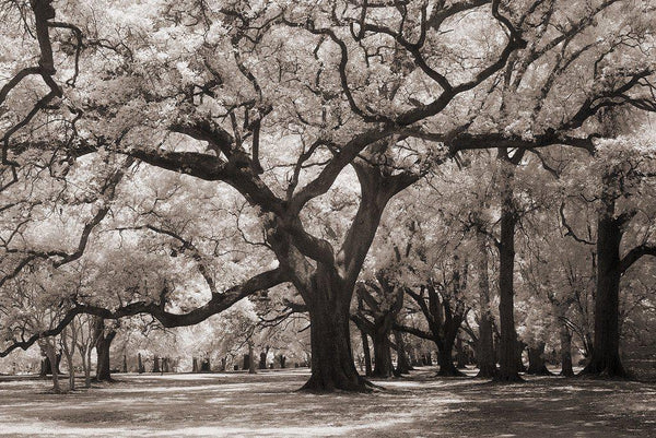 Tangled Majesty, Audubon Park - New Orleans, LA