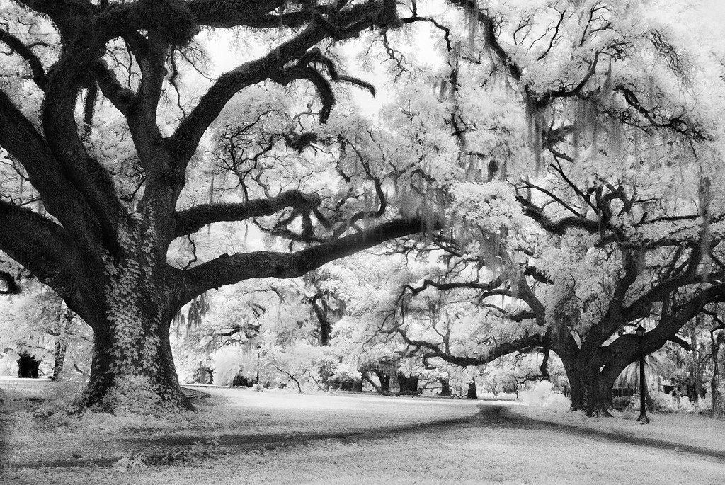 Black And White Photo Of Tree In City Park New Orleans La Barloga