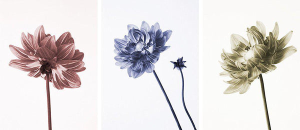 Dahlia Three Ways