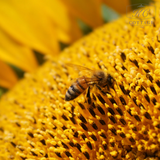 Plants for Bees Sunflower