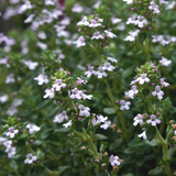 Plants for Bees Thyme