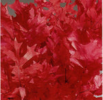 Oak Leaves 1 Pound Bunch - Red