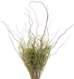 Curly Willow Branches (Bunch of 8 Stems), 3-4Ft Tall & Caspia