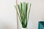 River Cane | Green | 3-4 FT