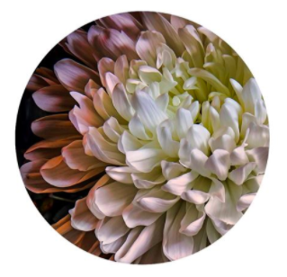Chrysanthemum 2 by Lucy Gauntlett