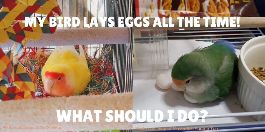 Help! My bird is laying too many eggs! What can I do?